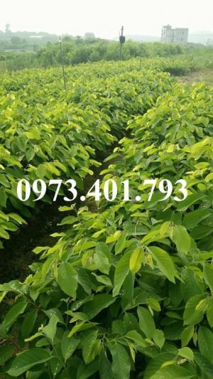 Giống cây na đỏ thái lan