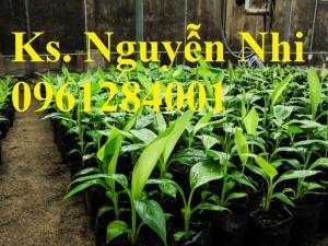 Chuyên cung cấp giống cây chuối cấy mô, chuối tiêu hồng, chuối già nam mỹ, chuối laba