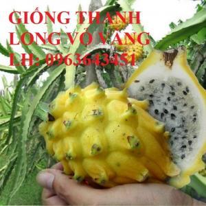 Cung cấp cây giống thanh long ruột đỏ, thanh long vỏ vàng Malaysia, uy tín, giá tốt, giao toàn quốc