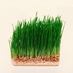 Hạt giống mầm lúa mạch non Phú Nông