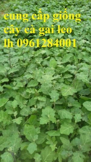 Chuyên cung cấp giống cây cà gai leo, hạt giống cà gai leo, số lượng lớn, giao hàng toàn quốc