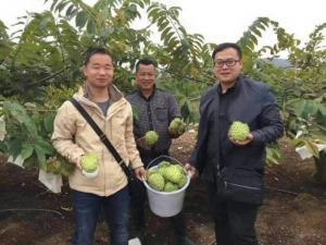 Na dứa Đài Loan