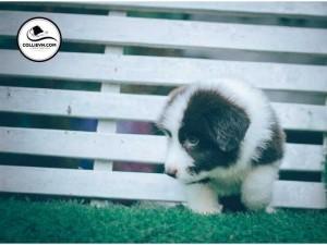 Bán chó border collie đực mầu đen trắng