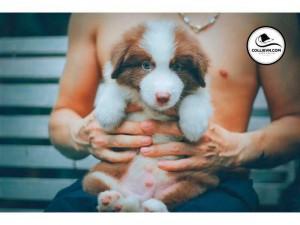Bán chó border collie mầu nâu,đực