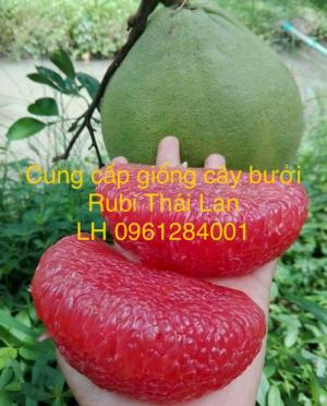 Cung cấp giống bưởi rubi thái lan, bưởi đỏ, bưởi rubi, bưởi thái lan, cây giống nhập khẩu f1