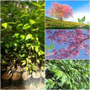 Hoa Mai Anh Đào - cây giống