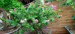 Hoa Tường Vy màu hồng bonsai đang trổ bông