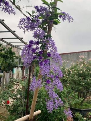 Hoa mai xanh bonsai đang trổ bông