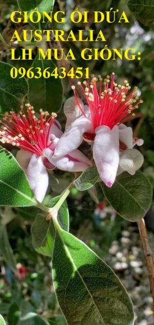 Cung cấp cây giống mới lạ: Giống ổi dứa Australia, giống cây ổi dứa Úc nhập khẩu uy tín, giá tốt