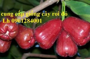 Cây giống roi đỏ Thái Lan, roi đỏ, roi đỏ an phước, số lượng lớn, uy tín, chất lượng