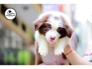 Chó border collie thuần chủng