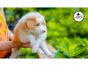 Border Collie mầu vàng trắng