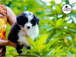 Chó border collie mầu đen trắng