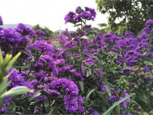 Hoa thạch thảo tím