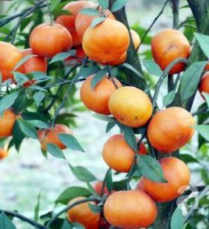 Giống cam đường canh