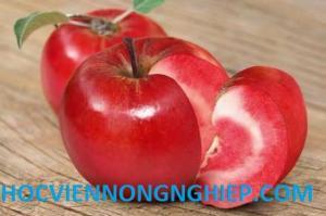 Cung cấp giống cây táo đỏ lù F1