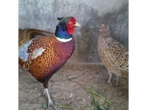 Bán chim trĩ thịt và giống