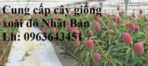 Cung cấp cây giống xoài đỏ Nhật Bản, xoài Nhật trứng mặt trời, xoài đỏ Đài Loan, xoài ruby nhật khẩu
