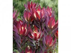 Cây đá quý đỏ ( Leucadendron )