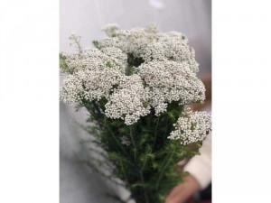 Cây hoa gạo ( Rice flower )