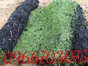 Trồng cỏ nhung Nhật sân vườn