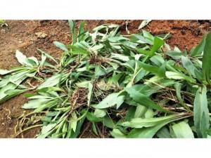Thạch thảo tím xanh