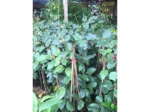 Hoa móng cọp đỏ Thái lan