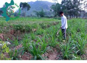 Giống cỏ VA06, hom giống VA06, cỏ ghi nê, cỏ sả, cỏ sữa, số lượng lớn, giao hàng toàn quốc