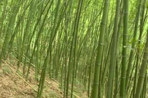 Bán cây trúc, bán cây tre, bán cây hóp, cung cấp tre trúc tại Hà Nội