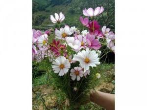 Hạt giống hoa Cánh bướm viền mix màu