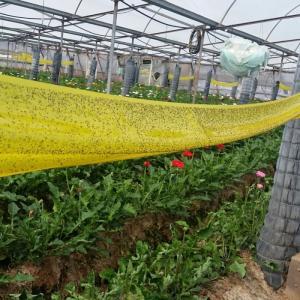 Keo Bẫy Ruồi Đục Sinh Học Israel (Combo 10 mét) và Bẫy bọ phấn trắng, bọ nhảy