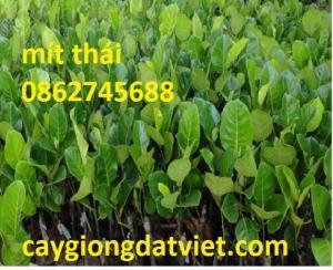 Cung cấp giống cây mít thái siêu sớm. cây giống f1. giao hàng toàn quốc