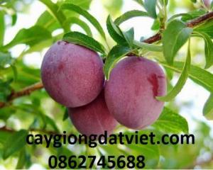 cung cấp giống cây Mận Tam Hoa. cây giống f1. giao hàng toàn quốc