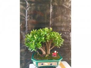 bonsai trang đỏ