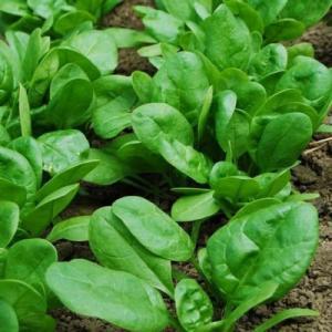 Hạt rau giống bó xôi chịu nhiệt, diếp thơm, húng quế, mầm cải đỏ, cải trắng, mầm đậu Hà Lan, mùi cồn tía, rau muống lá tre, tía tô