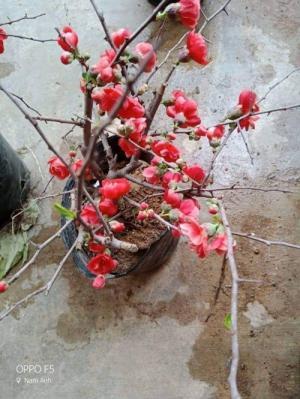 Cung cấp mai đỏ cho tết 2020, mai đỏ nhật, mai đỏ bonsai