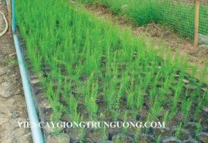 Cung cấp hạt giống măng tây xanh