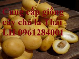 Cung cấp giống cây chà là, chà là thái lan, cây chà là ăn trái - viencaygiongtrunguong