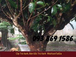 Địa chỉ bán cây trà xanh TPHCM, mua cây chè xanh tại TPHCM