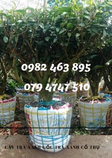 Giá bán cây trà xanh TPHCM