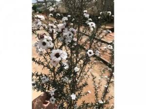 Manuka - tuyết mai trắng