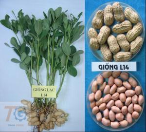 2019-11-14 15:37:38  13 may-tria-dau-phong Kỹ thuật trồng cây đậu phộng 2,200,000