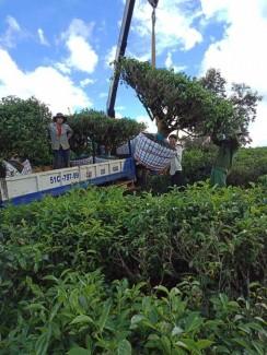 Cây Trà Xanh cổ thụ 20 năm tuổi Vườn Chè Bảo Lộc