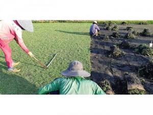 Các loại cỏ Nhật trang trí sân vườn đẹp