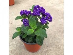 Hoa kẹo tím ( Heliotropiumarborescens ) - ngũ sắc tím