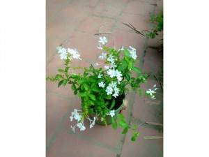Hoa bạch xà