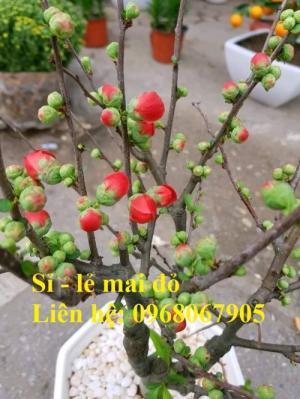 Chuyên cung cấp sỉ - lẻ Mai đỏ chưng tết, Cam kết hoa nở chuẩn tết