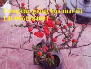 Cung cấp số lượng lớn hoa mai đỏ, hoa mai đỏ chơi Tết, hoa đào đỏ, giao hàng toàn quốc