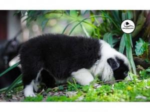 Bán chó border collie thuần chủng