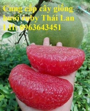 Cung cấp cây giống bưởi ruby Thái Lan, bưởi đỏ Thái Lan, bưởi hương Thái nhập khẩu chuẩn, uy tín, giao toàn quốc